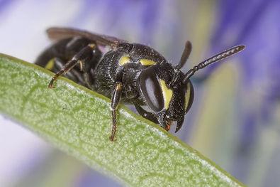 Yellow-Faced Bee - Hylaeus modestus modestus - (c) Copyright 2017 Sharp-Eatman Photo