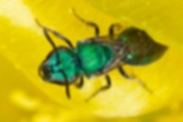 Augochlora azteca sweat bee- (c) Copyright 2019 Paula Sharp