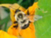 Common Eastern Bumblebee - Bombus impatiens -(c) Copyright 2016 Sharp-Eatman photo