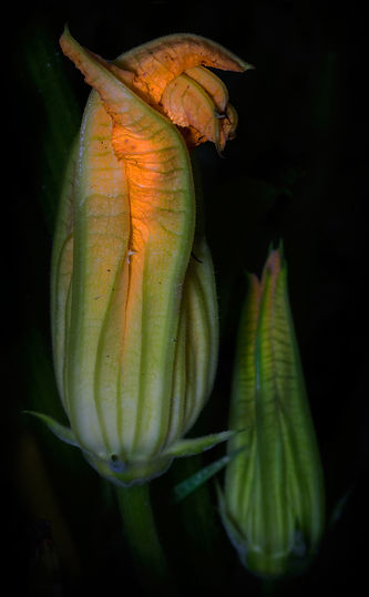 Squash blossoms at dawn - (c) Copyright 2016 Sharp-Eatman Photo