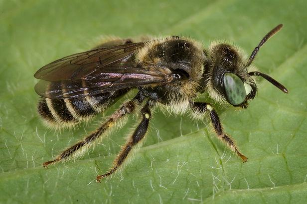 Calliopsis Andreniformis Mining Bee - (c) Copyright 2017 Paula Sharp