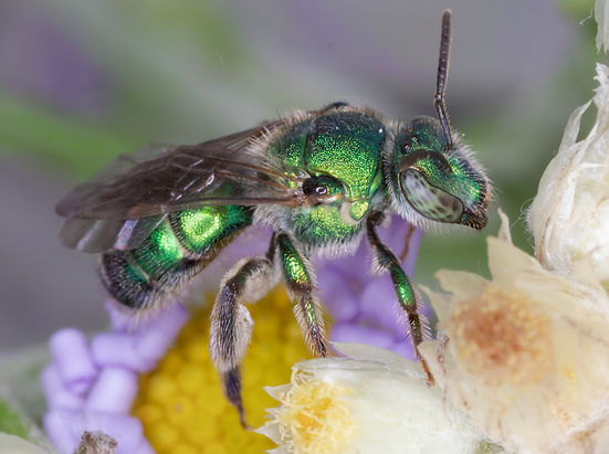 Augochloropsis metallica sweat bee - (c) Copyright 2018 Paula Sharp