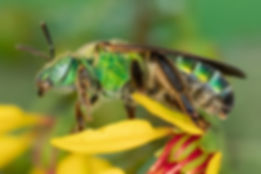 Agapostemon splendens sweat bee - (c) Copyright 2018 Paula Sharp