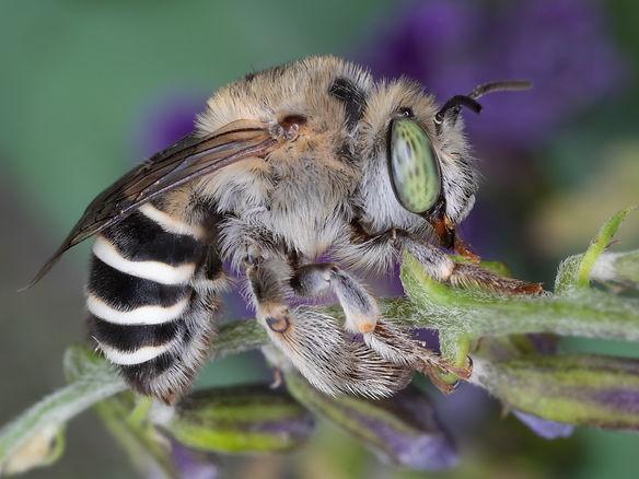 WJPEG-Anthophora-californica-female-gree