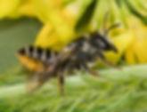 Megachile relativa (c) 2017 Sharp-Eatman photo