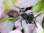 Andrena erigeniae male -  2017  Paula Sharp & Ross Eatman