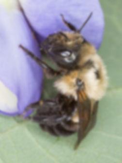 Osmia buchephala - Bufflehead Mason Bee - Copyright 2016 Sharp-Eatman Photo