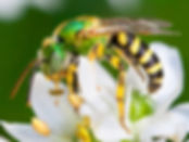 Bi-colored Agapostemon - Agapostemon virescens (c) Copyright 2015 Sharp-Eatman Photo