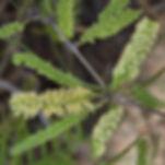 WJPEG-Flora-Honey-mesquite-NBC-#328-Pros