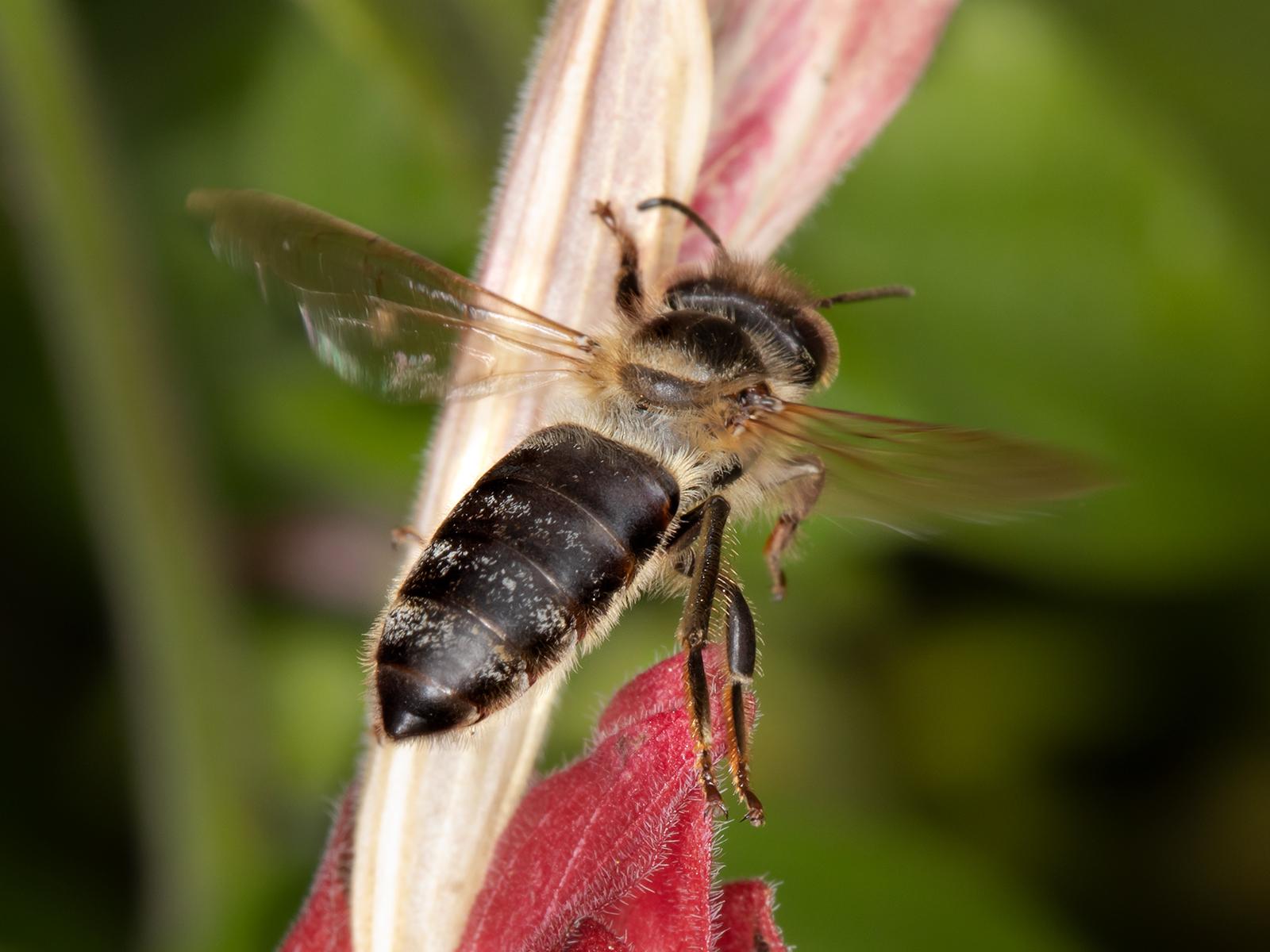 WJPEG-Honey-Bee-dark-in-flight-FLA-#16-W