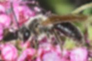 Hawthorn Mining Bee (male) - Andrena crataegi - (c) 2016 Paula Sharp & Ross Eatman