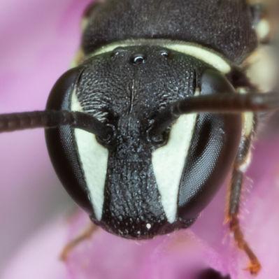 Hylaeus affinis masked bee - (c) Copyrigth 2019 Paula Sharp