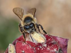 WJPEG-Honey-Bee-Face-on-shrimp-plant-FLA