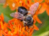 Small-handed Leafcutter Bee - Megachile gemula  (c) 2016 Sharp-Eatman photo