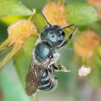 Osmia subfasciata mason bee - (c) Copyright 2019 PaulaSharp