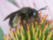 Two-Spotted Long-horned Bee - Melissodes bimaculata - (c) Copyright 2016 Sharp / Eatman Photo