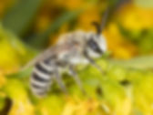 Colletes birkmanni - (c) Copyright 2019 Paula Sharp