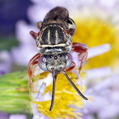 Epeolus pusillus, Triepeolus rufoclypeus, cuckoo bee, Triepeolus, Epeolus