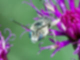 Melissodes denticulata Long-horned bee - (c) Copyright 2016 Sharp / Eatman Photo