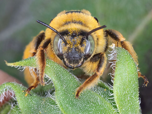 Diadasia enavata chimney bee - (c) Copyright 2019 Paula Sharp