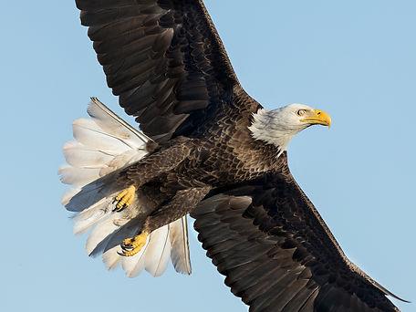 nictitating membrane - bird - bald eagle