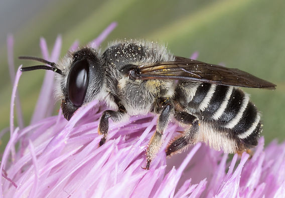 Megachile policaris leafcutter bee - (c) Copyright 2019 Paula Sharp