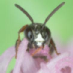 Ceratina texana small carpenter bee - (c) Copyright 209 Paula Sharp