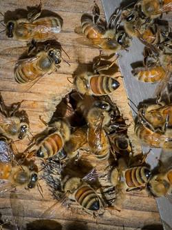 WJPEG-Honey-Bee-Hive-1-ONE_47A5696