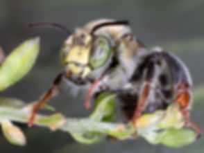 Anthophora californica - (c) Copyright 2019 Paula Sharp