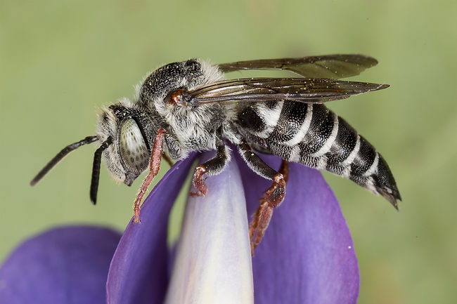 A female Immaculate Cuckoo Leafcutter Bee - Coelioxys immaculata - (c) 2017 Sharp-Eatman Photo