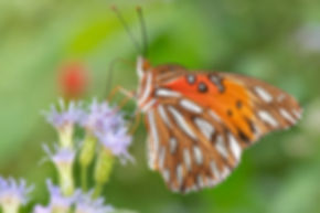 WJPEG-Butterfly-Fritillary-HOSS-NBC-#111