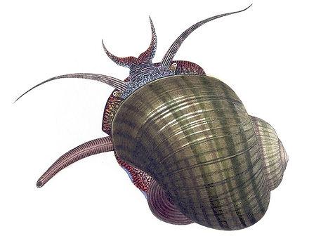 Florida apple snail illustration - Helen Lawso 1845 - public domain