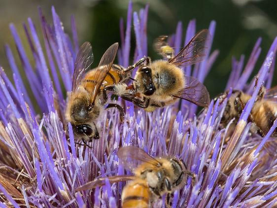 Honey bees robbing pollen