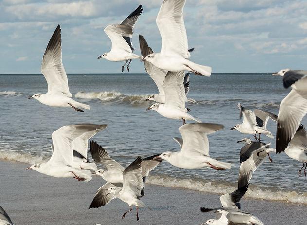 Gull Flock in Flight - Copyright (c) 2018 Paula Sharp