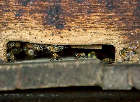 Brazilian killer bees entering an apirary hive - (c) Copyright 2018 Paula Sharp