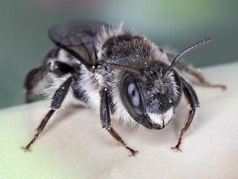 Male Lithurgopsis littoralis cactus wood-brer bee - (c) Copyright 2019 Paula Sharp