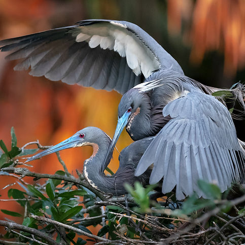 Littlie Blue and Tri-colored Herons Fighting - (c) Copyright 2018 Paula Sharp.