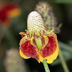 Mexican hat flwer (Rabatida columnifera)