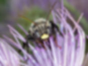 Thistle Long-horned Bee - Melissodes desponsus - (c) Copyright Sharp / Eatman Photo