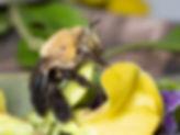 Centris atripes oil-digger bee - (c) Copyright 2018 Paula Sharp.