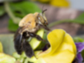 Centris bee, Centris nitida, Centris atripes, oil-digger bee