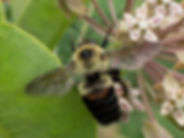Brown-belted Bumble Bee - Bombus Griseocollis - Native Bees - Wild Bees - Rockefeller State Park Preserve - New York