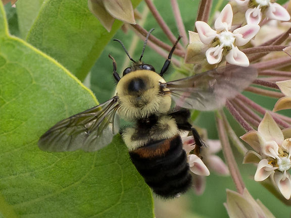 Brown-belted Bumble Bee - Bombus griseocollis - (c) 2016 Sharp-Eatman Nature Photography
