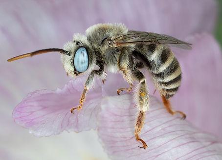 Melissodes opuntiellus long-horned bee - (c) Copyright 2019 Paula Sharp