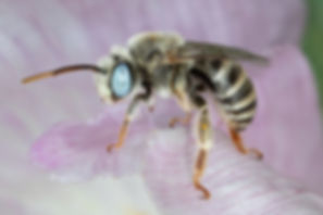Melissodes opuntiellus long-horned bee (Melissodes opuntiella)- (c) Copyright 2019 Paula Sharp
