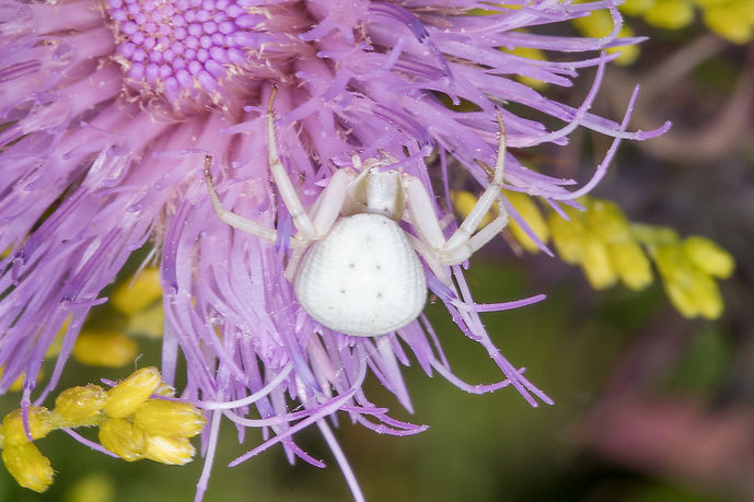 Goldenrod Crab Spider - (c) Copyright 2017 Paula Sharp