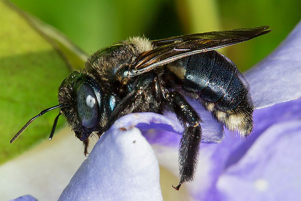 Southern Carpenter bee female - Xylocopa micans - (c) Copyright 2016 Sharp-Eatman Photo