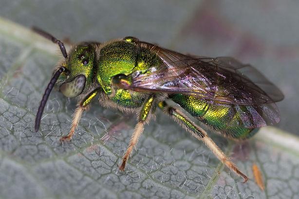 Augochloropsis metallica green metallic sweat bee - (c) Copyright 2016 Sharp-Eatman Photo