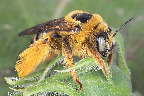 Diadasia enavata sunflower bee - (c) Copyright 2019 Paula Sharp