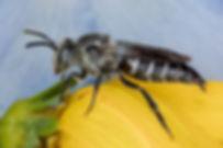 A female Porter's Cuckoo Leafcutter Bee - Coelioxys porterae - (c) 2017 Sharp-Eatman Photo